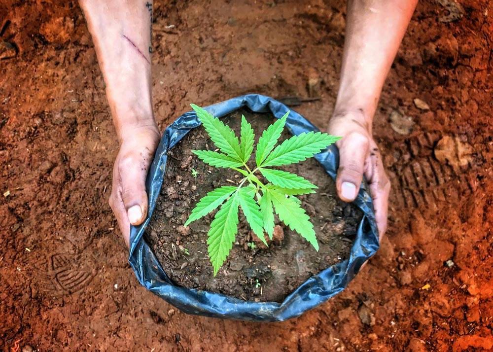 pair of hands around a potted cannabis plant in the dirt